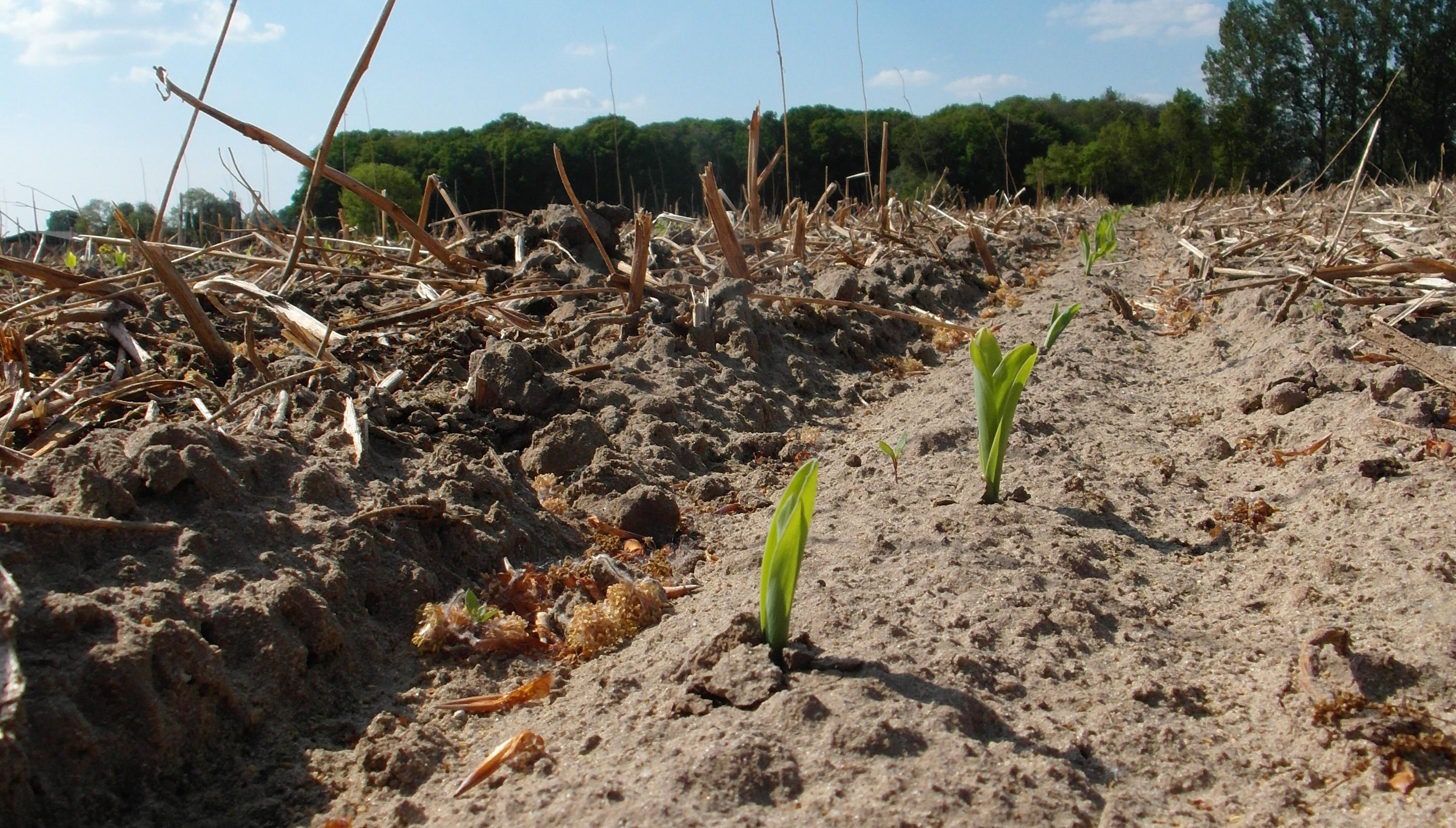 Zwischen der vorherigen Zwischenfrucht erblickt der Mais das Licht der Welt