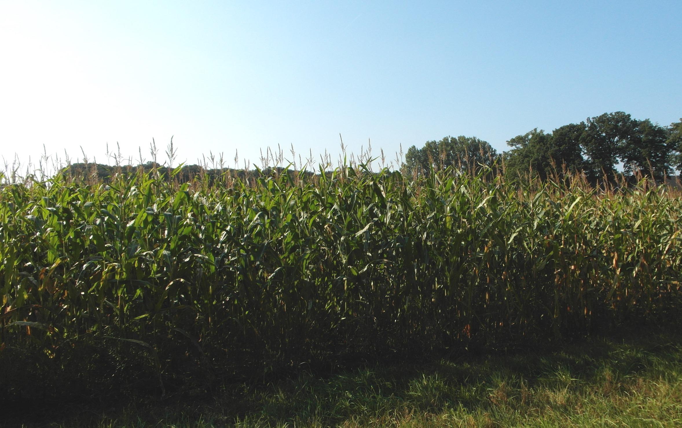 Der Mais wächst