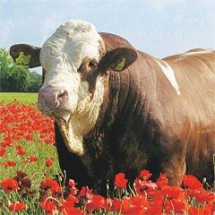 Rinderrassen für Fleisch-/Doppelnutzung
