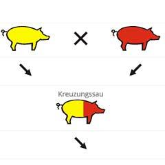 Reinzucht und Kreuzung (am Beispiel von Schweinen)