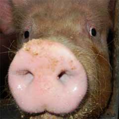 Kurze Infos rund um das Schwein