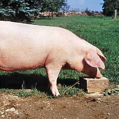 Schweinerassen