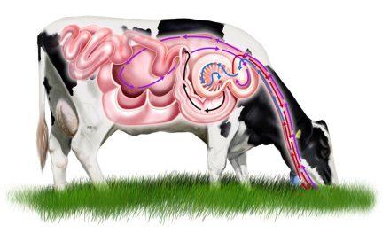So funktioniert der Magen einer Kuh